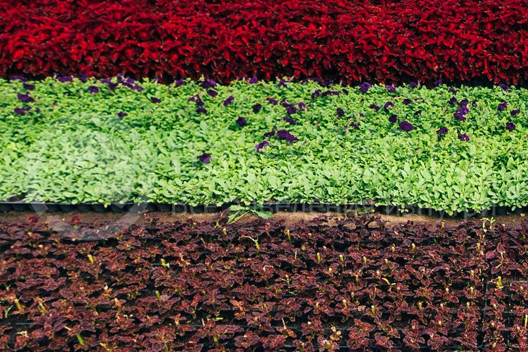 совхоз цветочный, рассада оптом краснодар 11