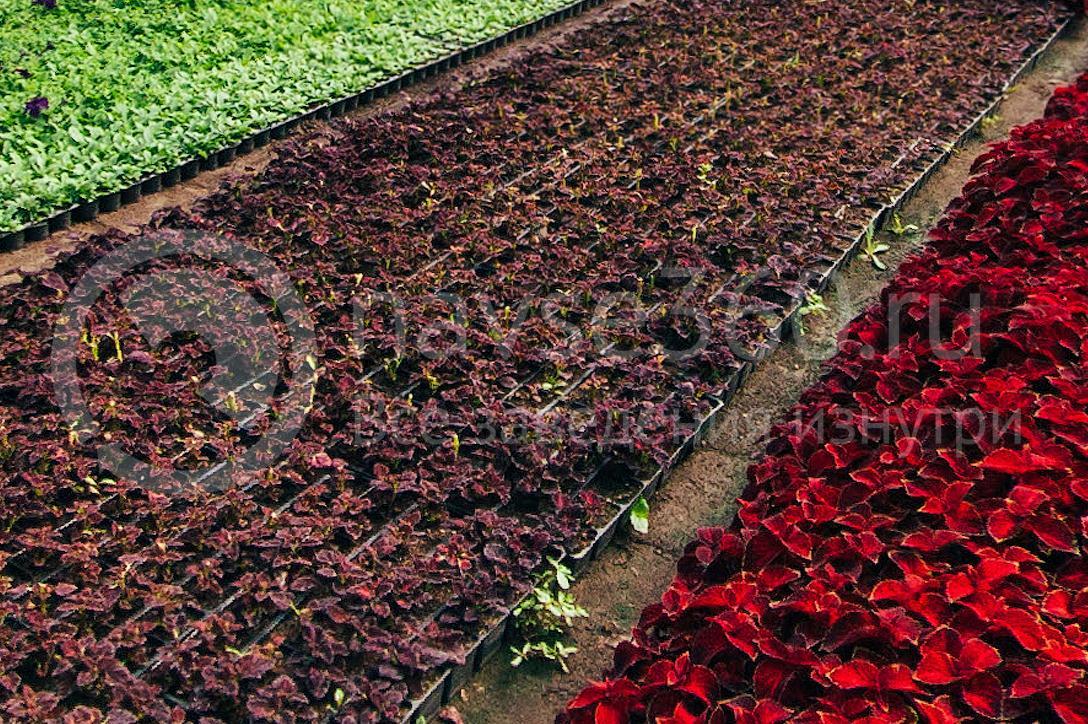 совхоз цветочный, рассада оптом краснодар 12