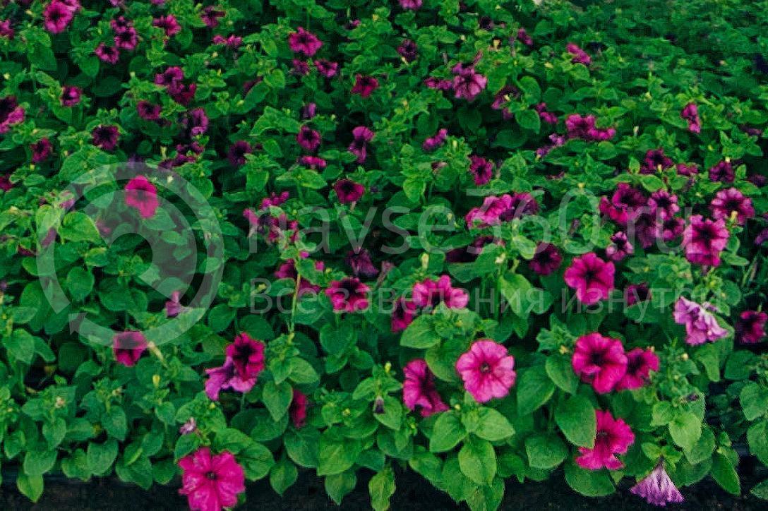 совхоз цветочный, рассада оптом краснодар 23