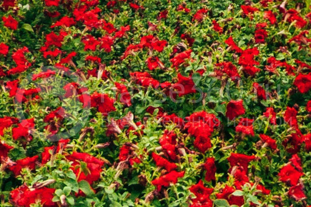 совхоз цветочный, рассада оптом краснодар 40
